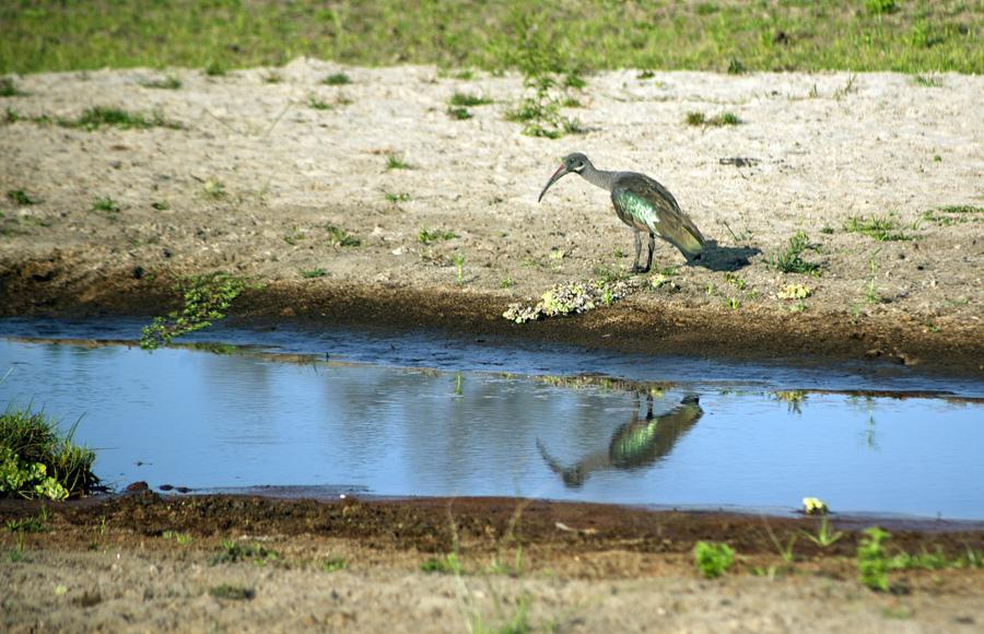 Hadeda Ibis Reflection, Tanzania