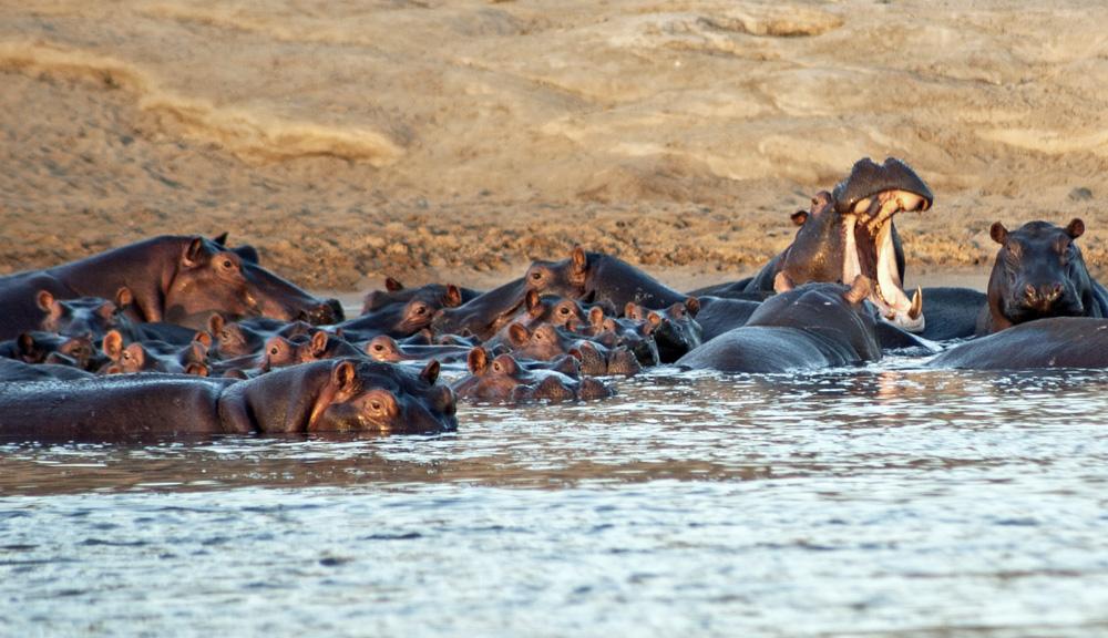 Hippos, Lukula Selous, Tanzania
