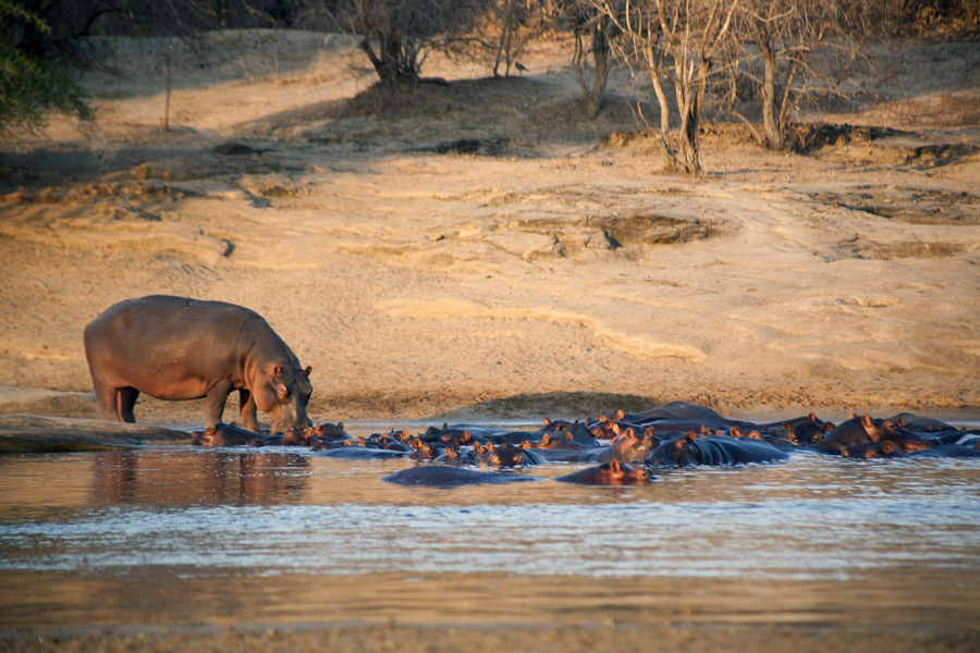 Hippos, Lukula Selous