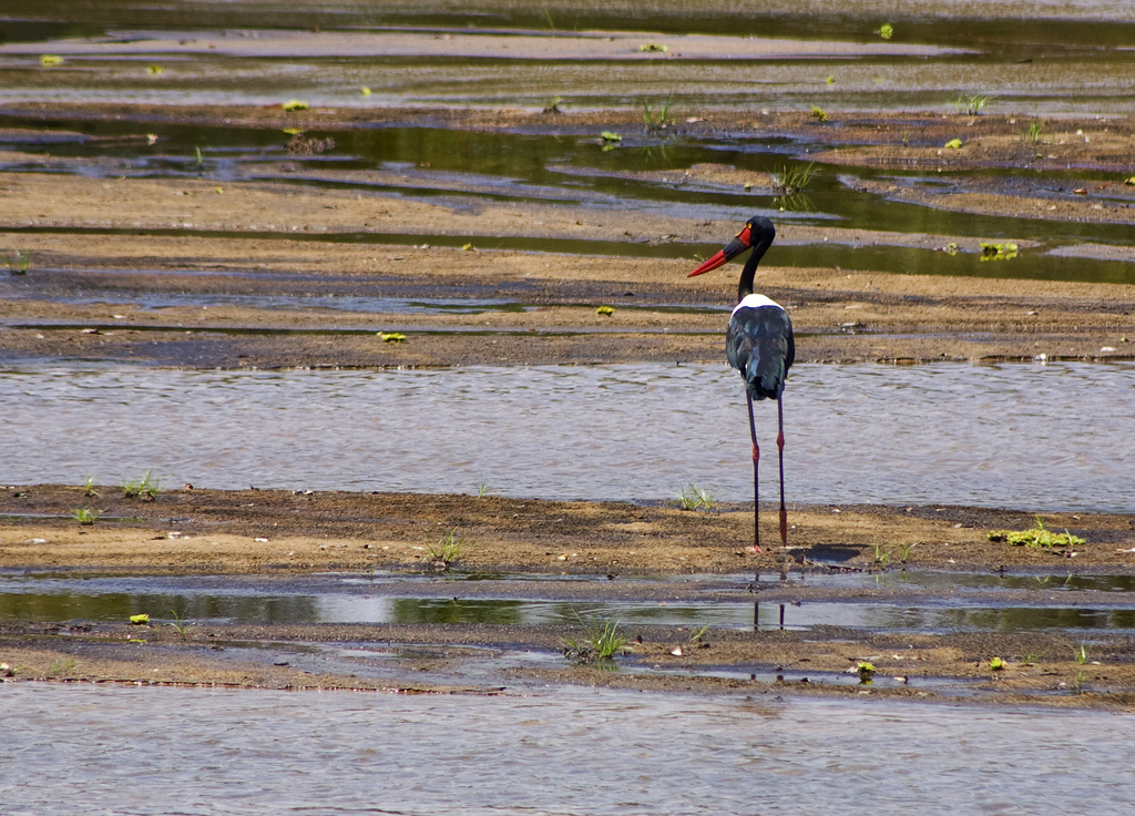 Saddle Billed Stork, Lukula Selous, Tanzania