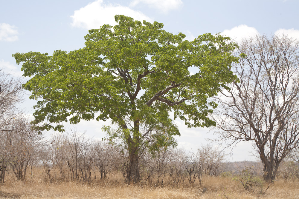 Majestic Tree at Lukula Selous, Tanzania