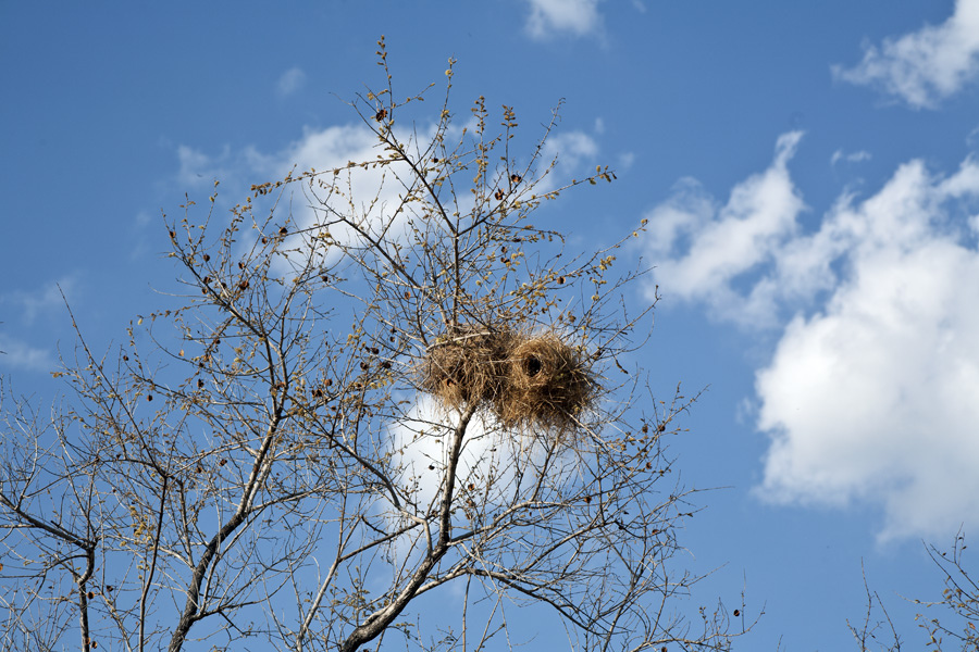 Weaverbird Nests, Lukula Selous, Tanzania