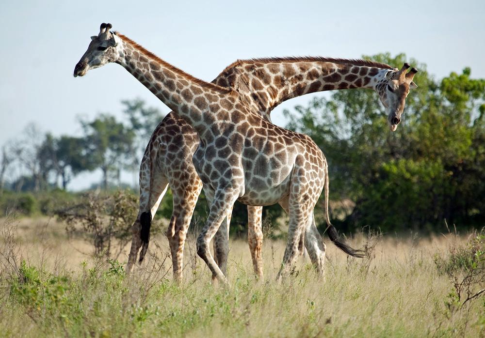 On Safari At Zarafa Camp, Botswana