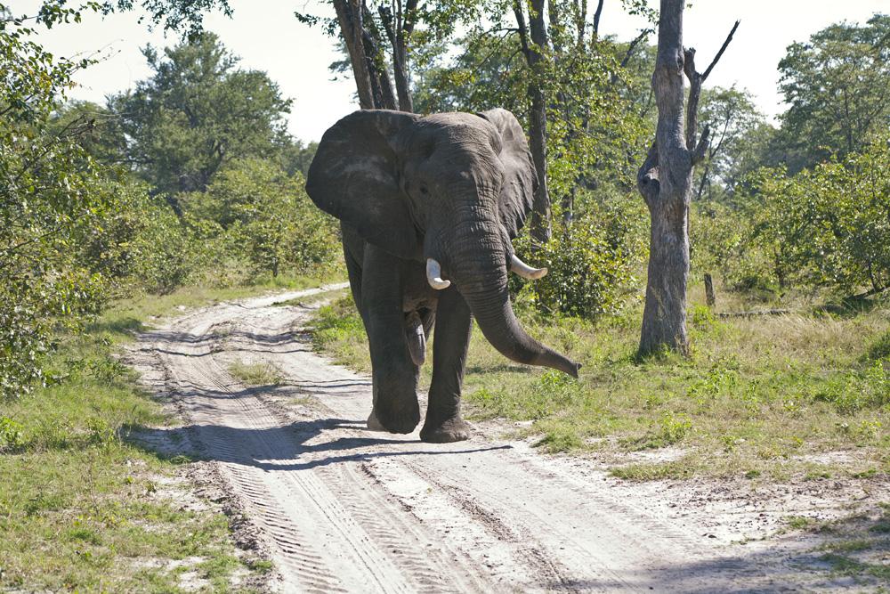 DumaTau, Botswana Safari