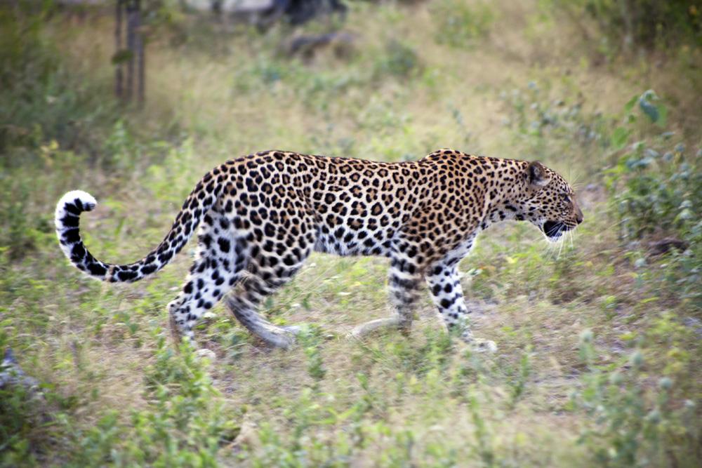 DumaTau Leopard, Botswana Safari Camp