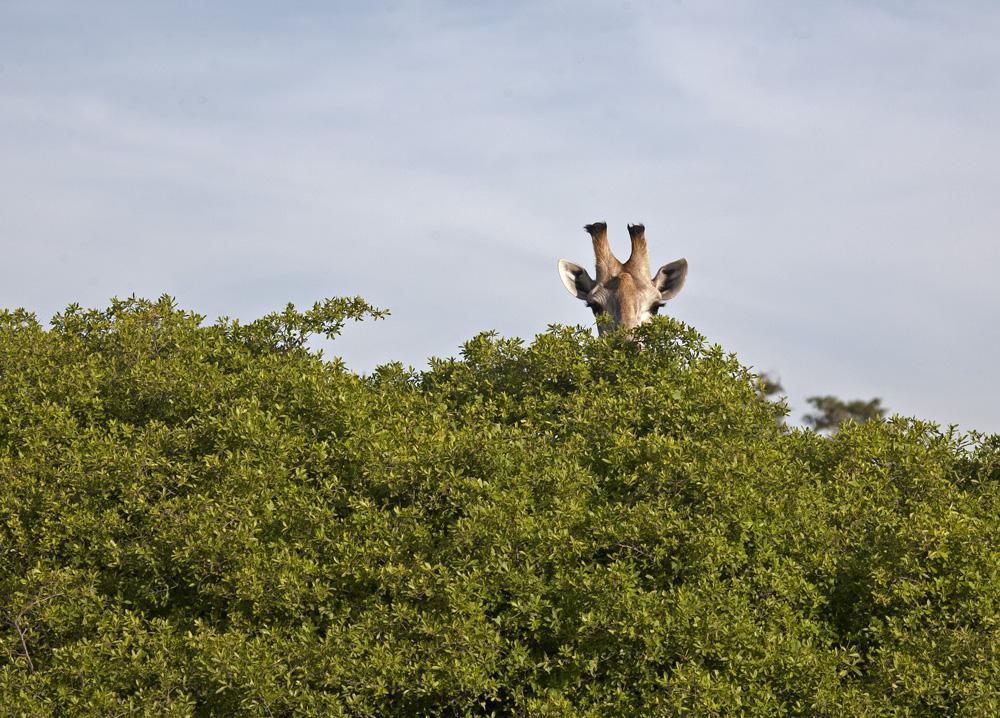 Zarafa Safari Camp, Okavango Delta, Botswana
