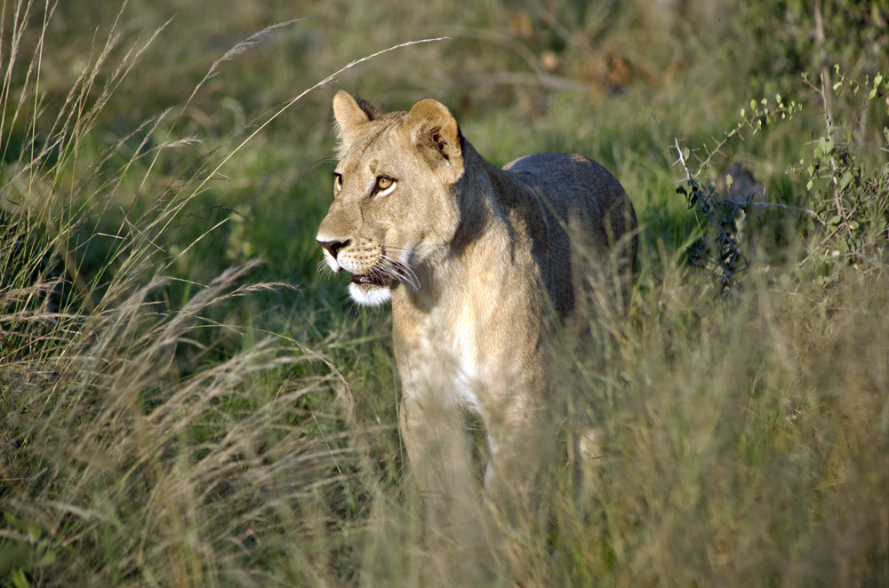 Lion Pride at Vumbura Plains, Botswana