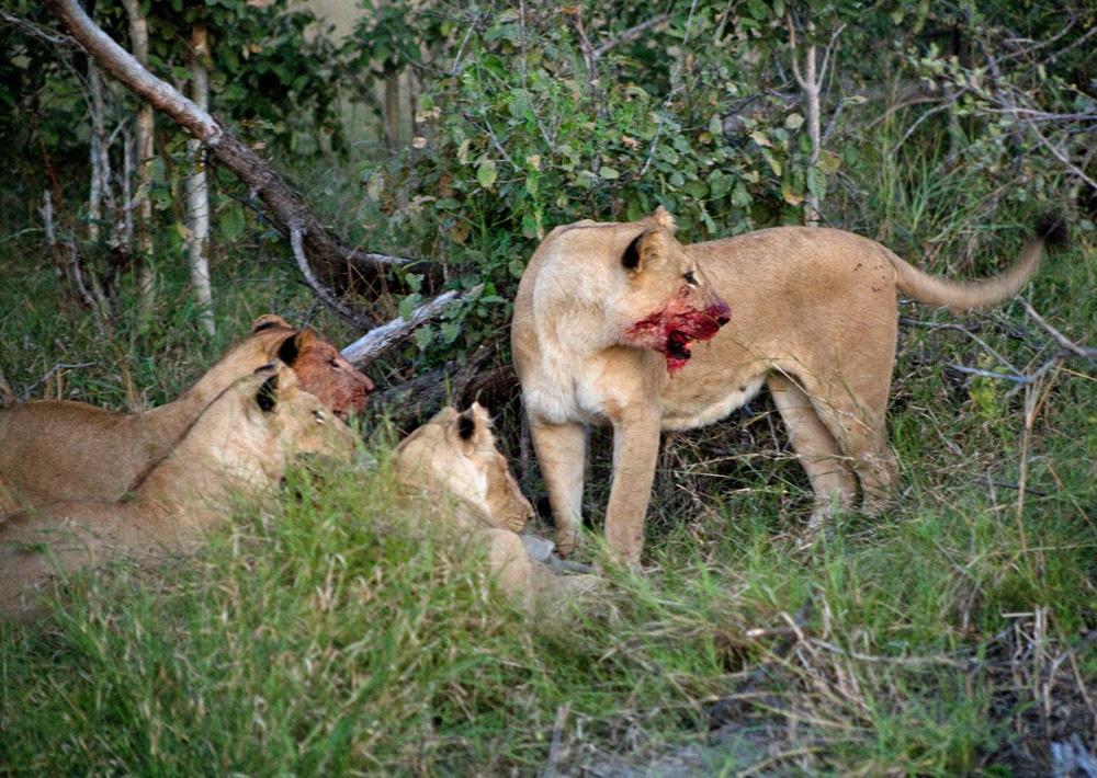 Lion Pride at Vumbura Plains, Botswana