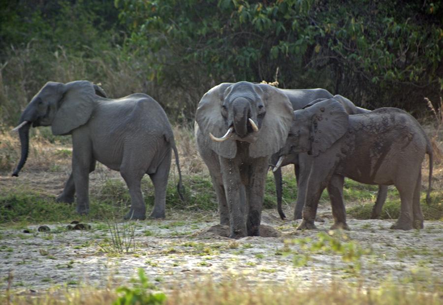 Elephants, Lukula Selous, Tanzania