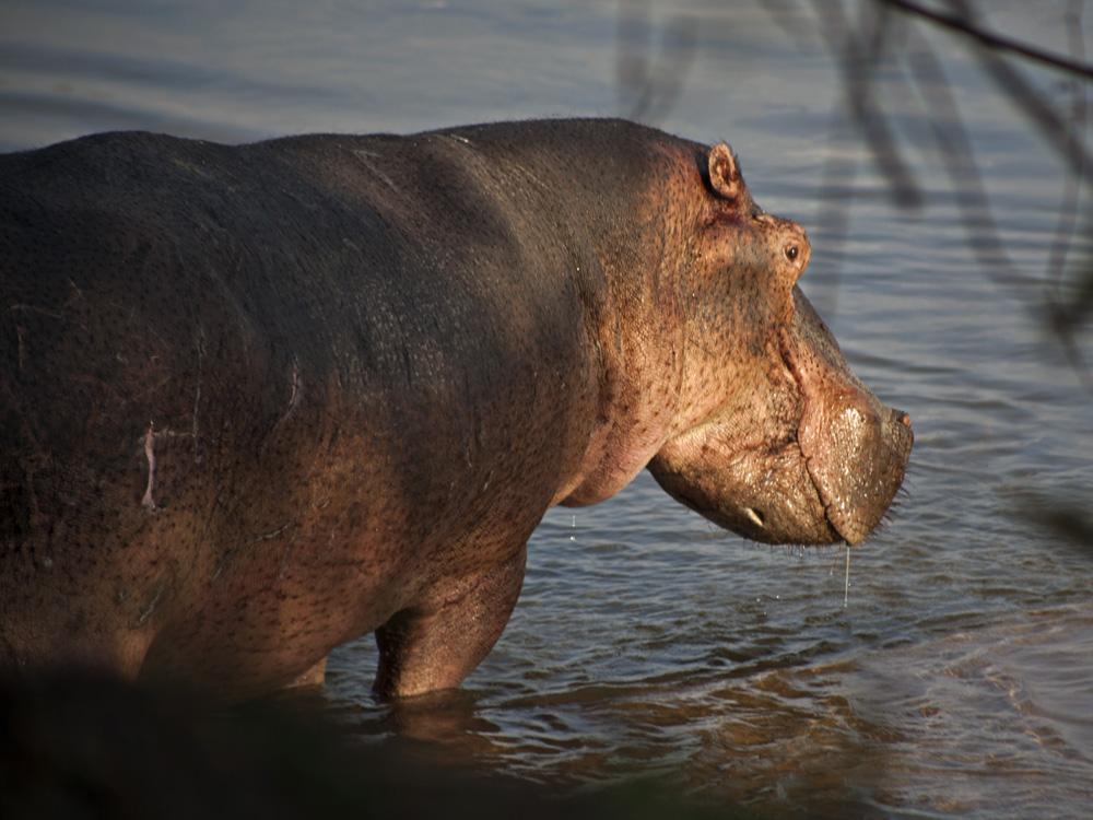 Hippo, Lukula Selous, Tanzania Safari