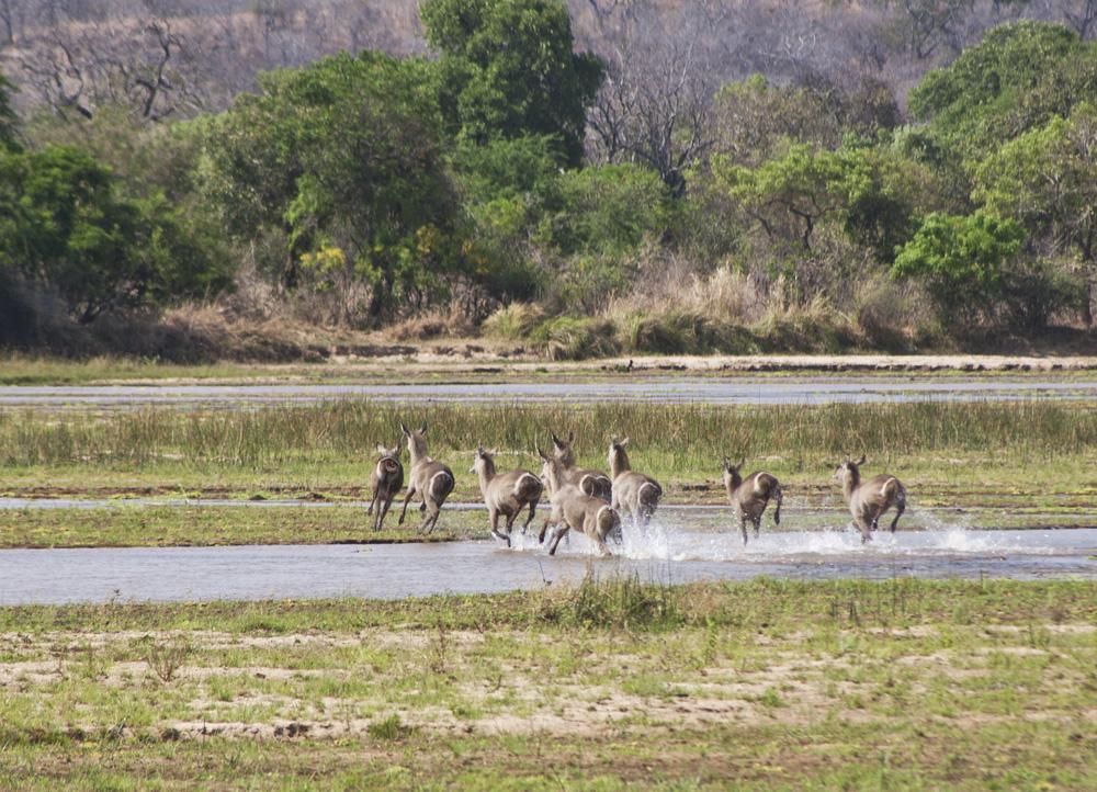 Waterbuck, Lukula Selous, Tanzania