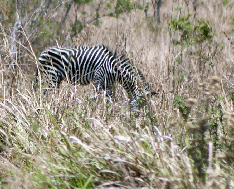 Zebra Lukula Selous, Tanzania