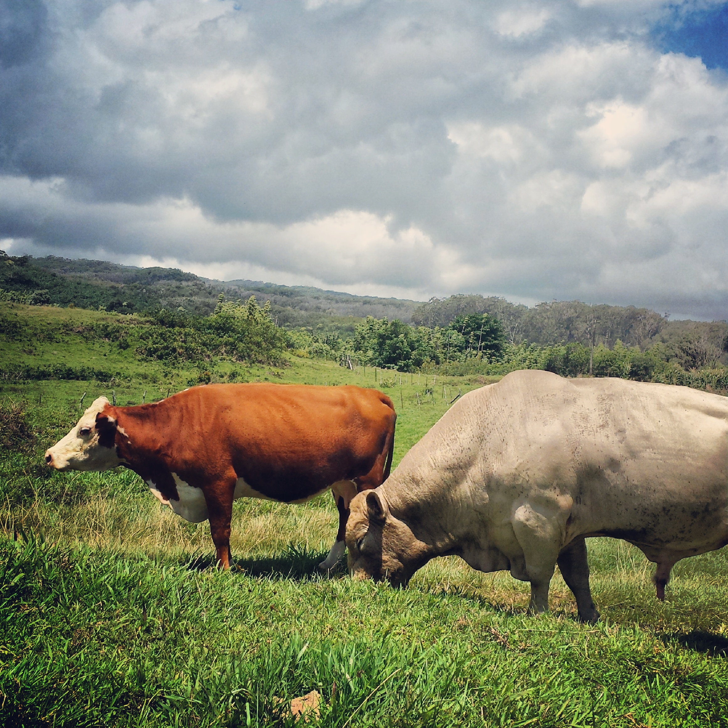cows-maui