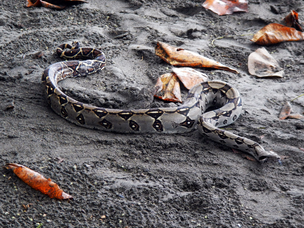 costa-rica-puerto-viejo-snake-2