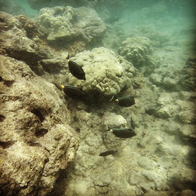 black-fish-snorkeling-maui