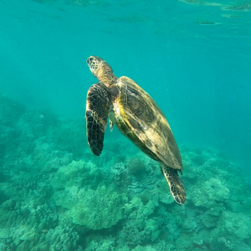 maluaka-honu-turtle-gopro