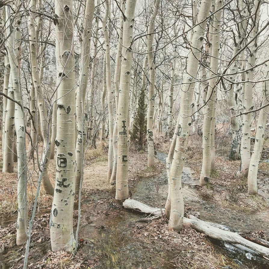 Convict-lake-trees