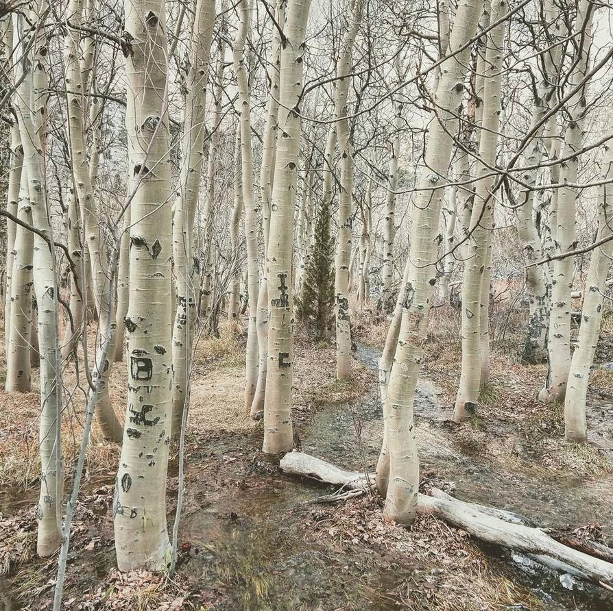 Convict-lake-trees