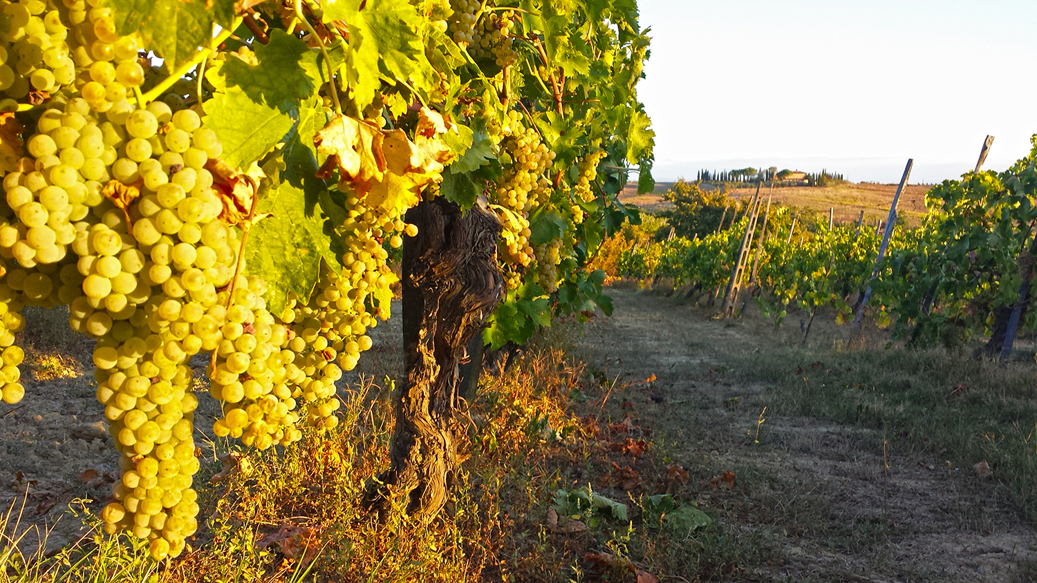 Agriturismo-grapes-wine-italy