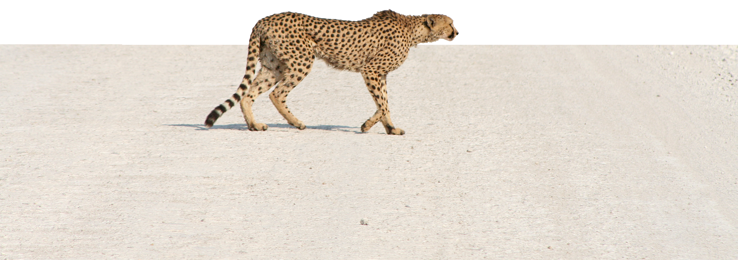 cheetah-etosha-national-park