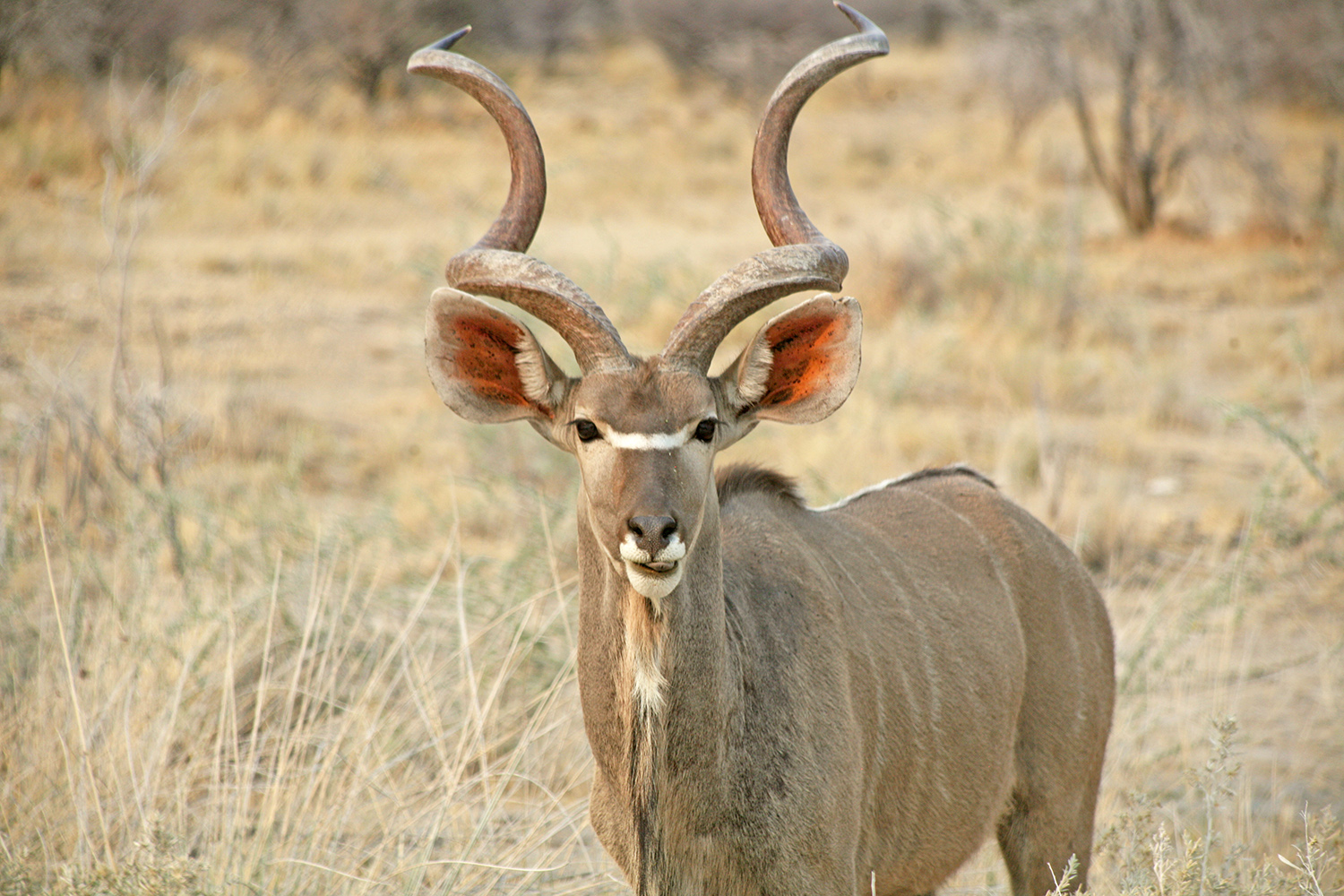 Etosha-nationa-park-safari-watering-eland