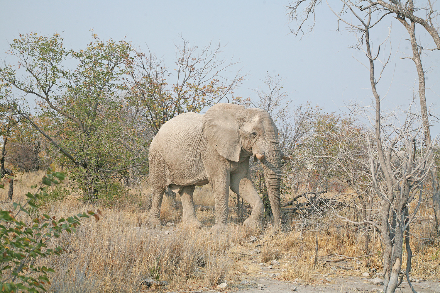Etosha-nationa-park-safari-watering-elephant