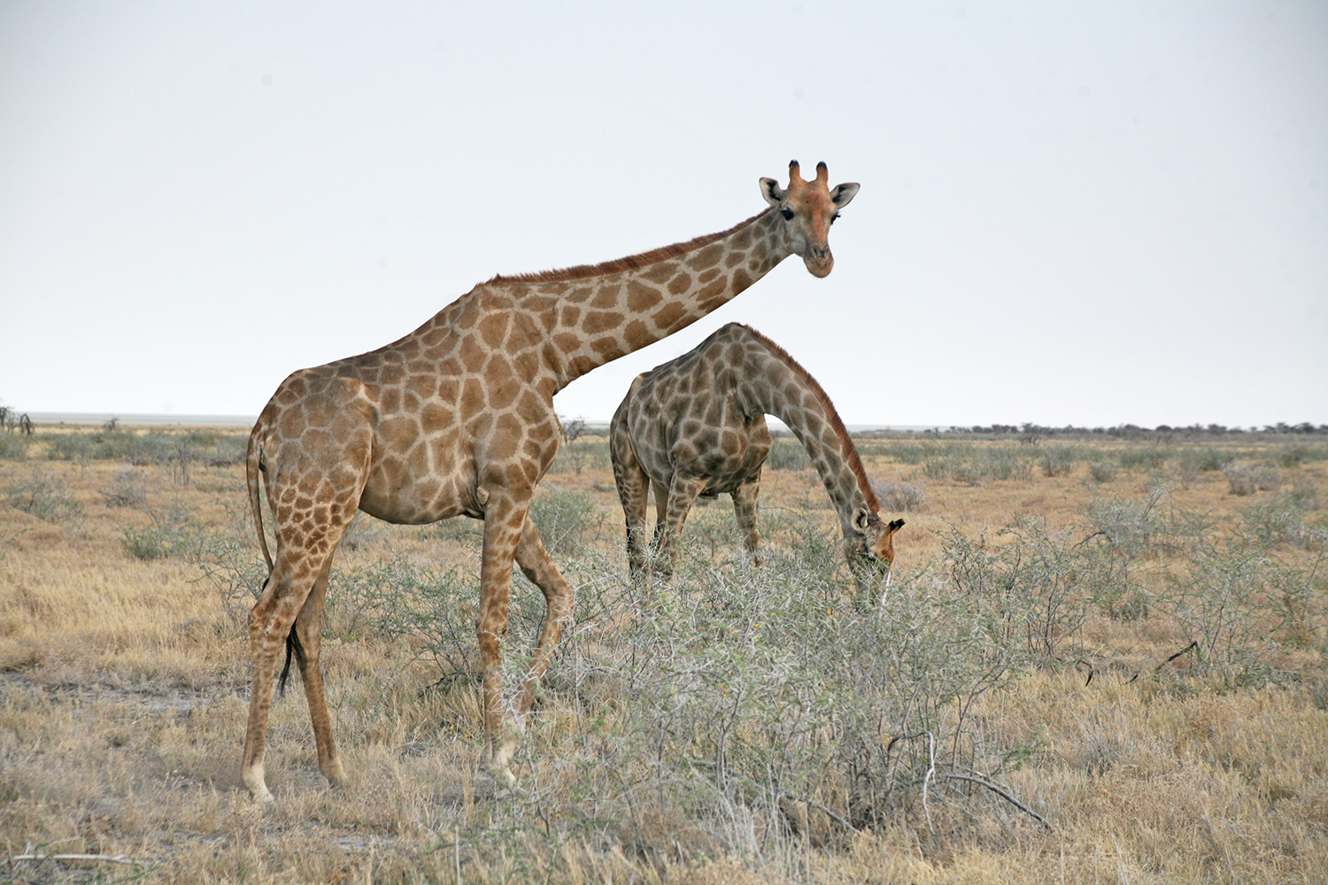 Etosha-nationa-park-safari-watering-giraffes