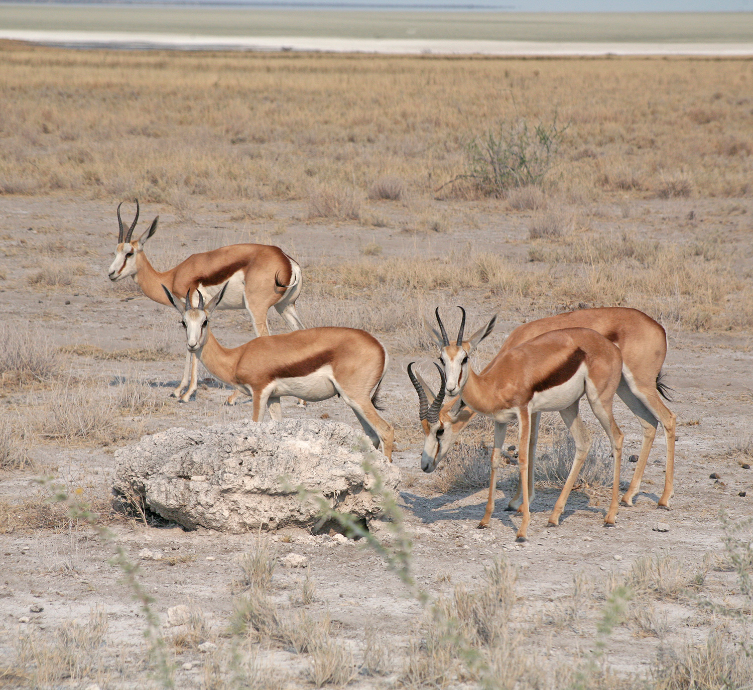 Etosha-nationa-park-safari-watering-kudu