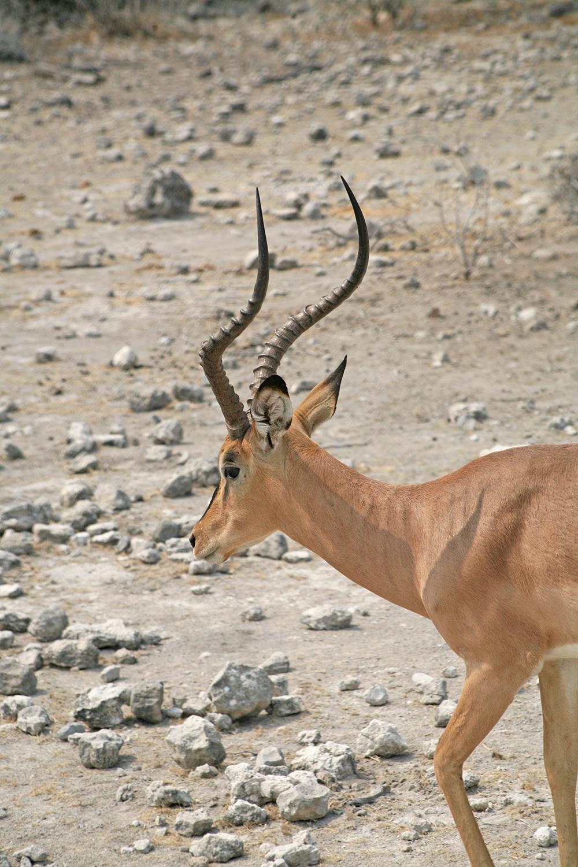 Etosha-nationa-park-safari-watering-springbok