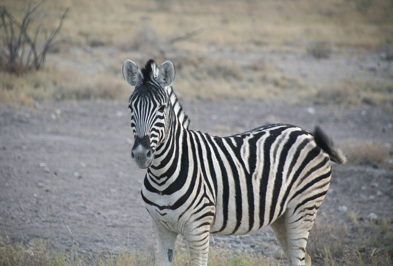 Etosha-nationa-park-safari-watering-zebra