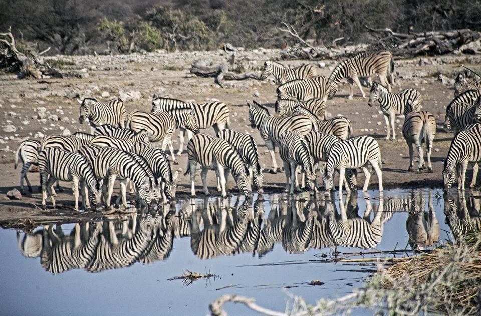 Etosha-national-park-zebras-namibia