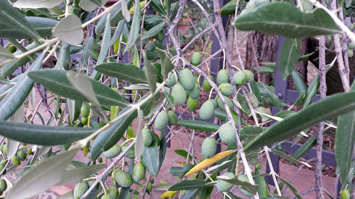 Local-olives-tuscany-italy